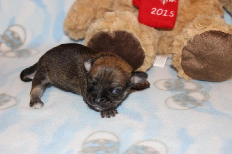 male red sable brindle markings chihuahua puppy champion lines