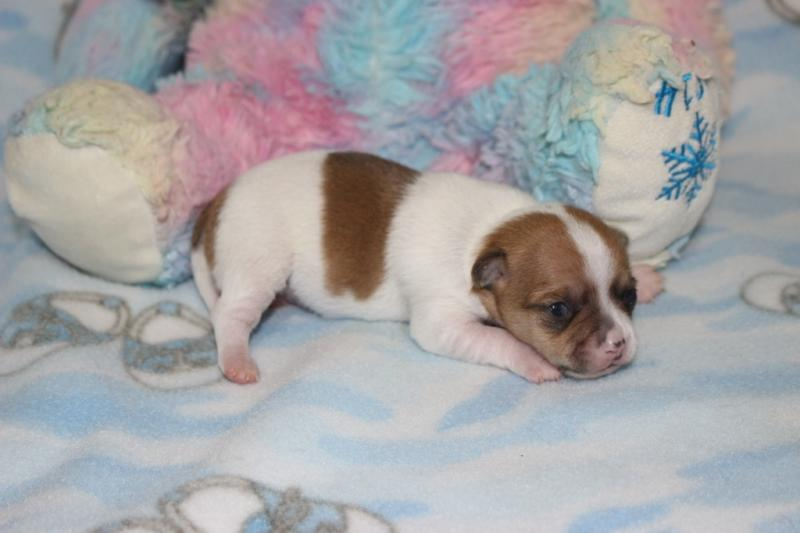 fawn on white female chihuahua short coat puppy