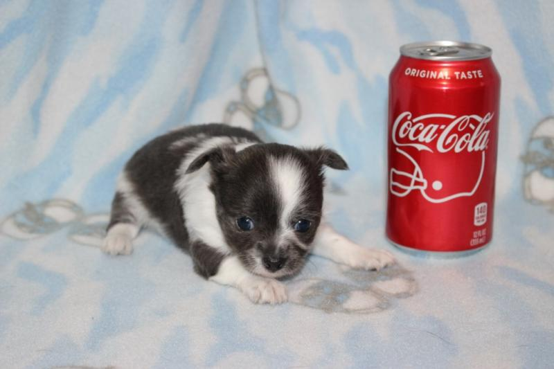t-cup blue and white female short coat chihuahua