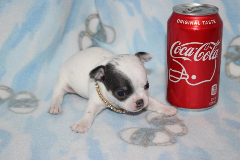 t-cup female white blue markings short coat chihuahua champion lines