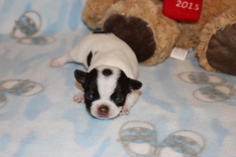 male chocolate and white chihuahua t-cup puppy champion lines