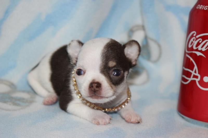 t-cup female chocolate on white short coat chihuahua champion lines