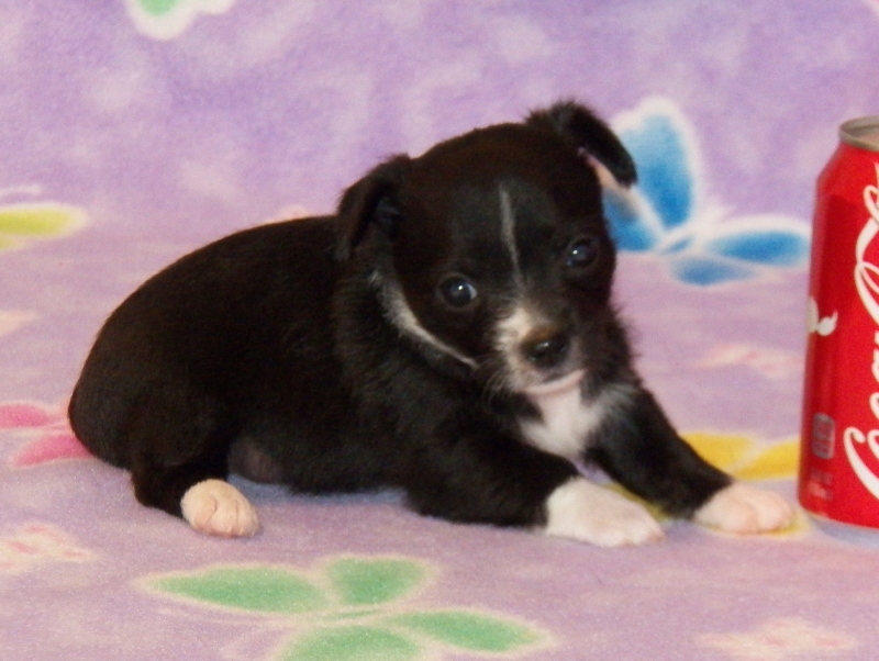 female black and white chipoo