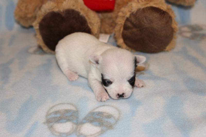 female black on white t-cup chipoo puppy