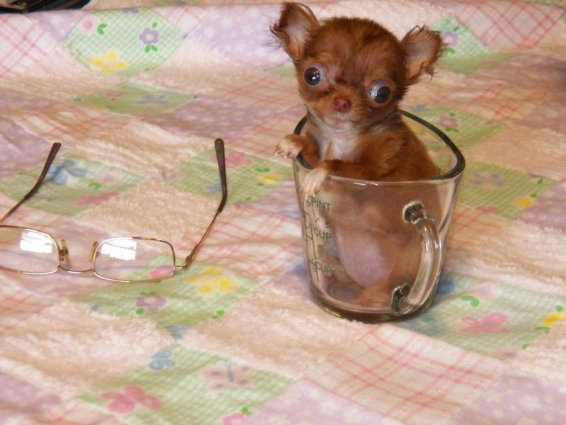 micro-t-cup female long coat red chihuahua
