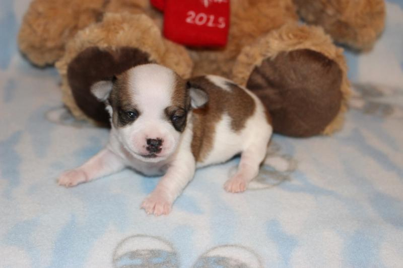 Male fawn and white chipoo puppy