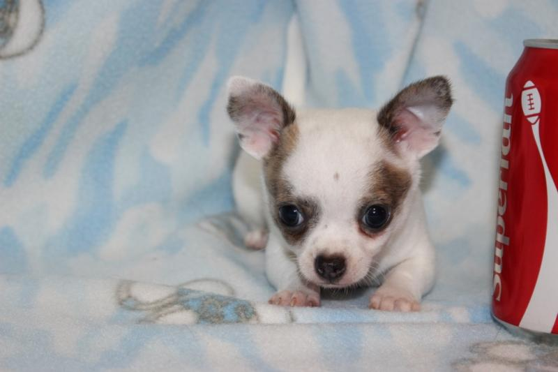 male white blue-fawn brindle markings short coat chihuahua champion lines