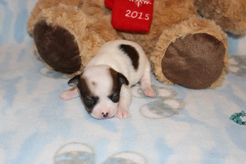 female chocolate on white chipoo t-cup puppy