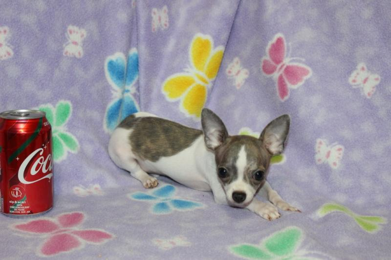 t-cup  male blue-fawn brindle on white short coat champion lines chihuahua