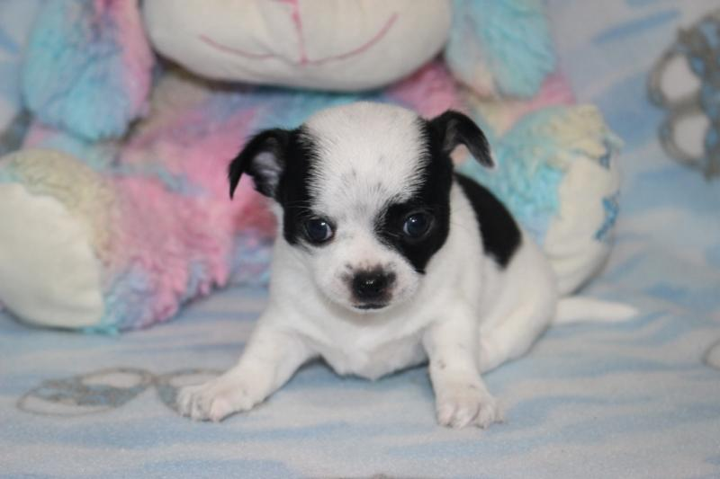 male black on white chihuahua short coat champion lines